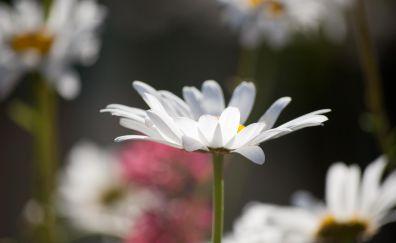 White petals, daisy flower, flower
