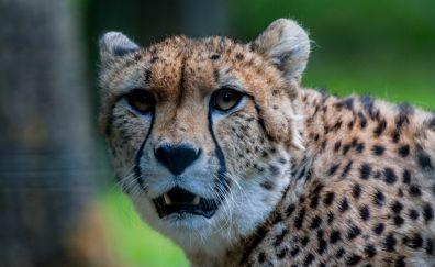 Cheetah, muzzle, predator, stare