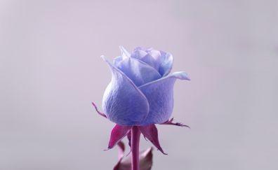 Blue rose, bud, close up, portrait, 4k