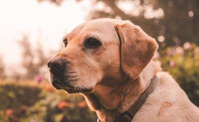 Labrador retriever, muzzle, dog, animal, 5k
