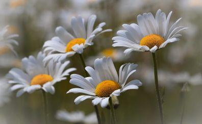 White daisy, blur, spring