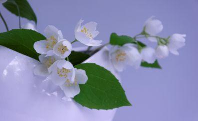 Jasmine, white flowers, leaves, vase