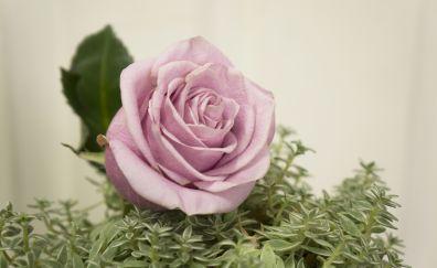 Pink rose, bloom, close up, 5k