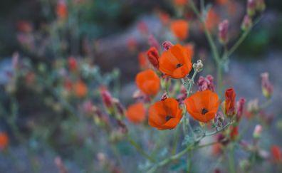 Orange poppy, flowers, plants, meadow