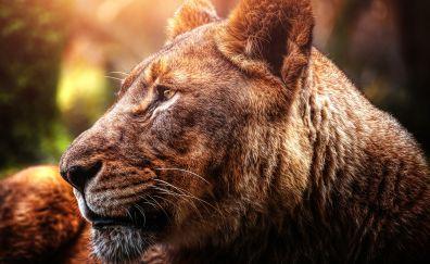 Lion, big cat, predator, sunlight