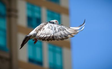 Dove, bird, fly, wings