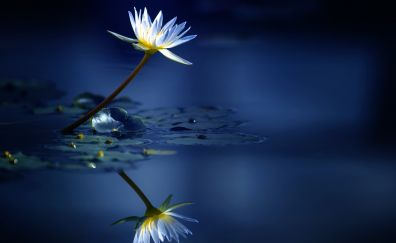Reflections, lake, water lily, white flower
