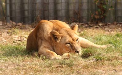 Lion, bit cat, animal, relaxed