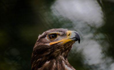 Raptor, eagle, bird, beak, muzzle