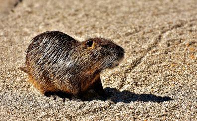 Coypu, Water rat, rodent, animal, wet