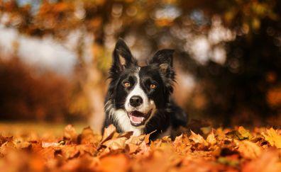 Border collie, muzzle, bokeh, autumn, outdoor, 4k