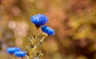 Blue Daisy flowers, close up, blur