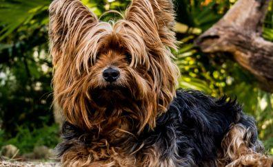 Furry animal, yorkshire terrier, dog, animal