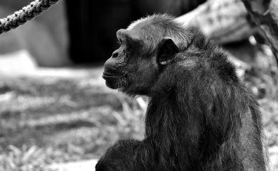 Chimpanzee, monkey, animal, monochrome