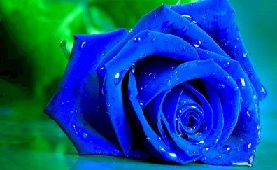 Blue rose flower, water drops