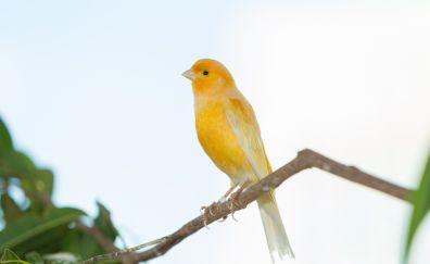 Grassland yellow finch, bird, tree branch
