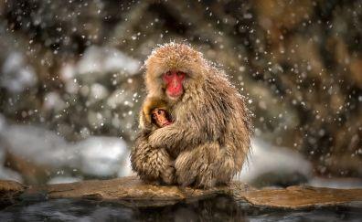 Japanese Macaque, monkey, animal, snowfall