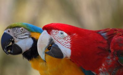 Macaw parrot, colorful birds