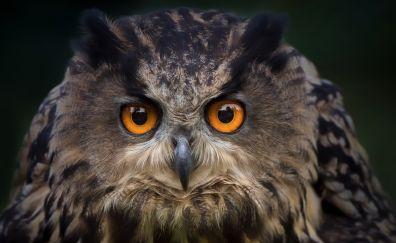 Owl bird muzzle, eyes