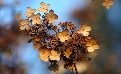 Hydrangea flower, autumn, dry