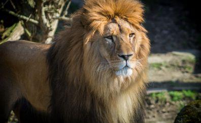 Furry Lion, wild animal, zoo