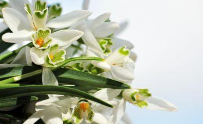 Snowdrop flowers Bouquet, white flowers