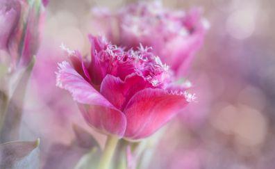 Pink tulip, flower, close up, blur