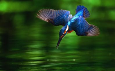 Blue cute bird flying over lake