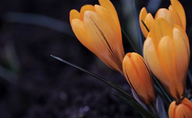 Spring, crocus, yellow flowers