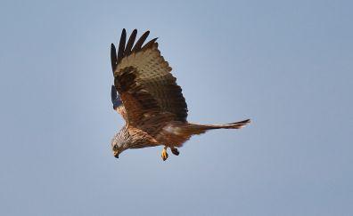 Raptor, falcon, wings, predator