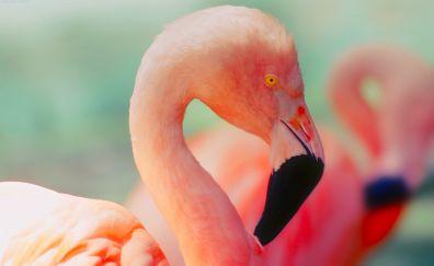 Flamingo, beautiful pink bird, neck, beak