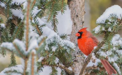 Cardinal bird, winter, snow, tree branch