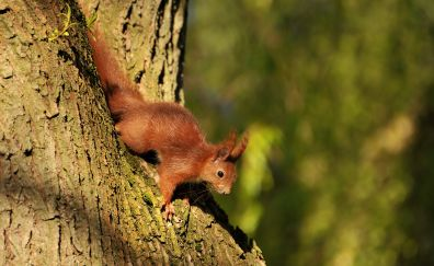 Squirrel, red rodent, animals