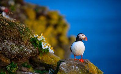 Puffin, beautiful bird, rocks