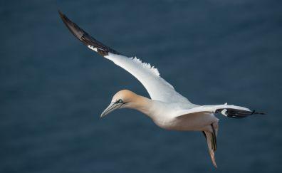 Northern gannet, bird, flying