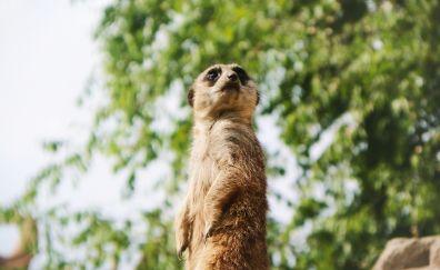 Curious meerkat, animal