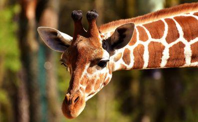 Giraffe, wild animal, muzzle