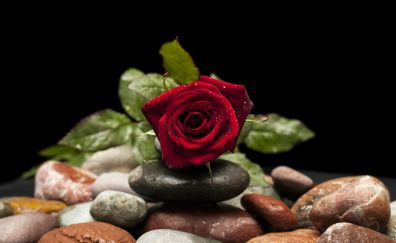 Red rose, drops, rocks