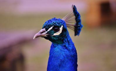 Peacock muzzle, bird