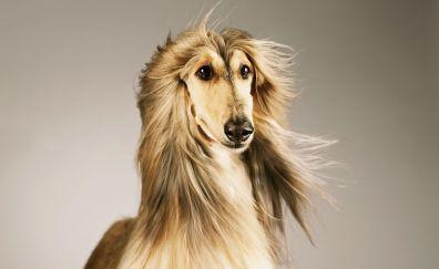 Afghan Hound, dog, hairy