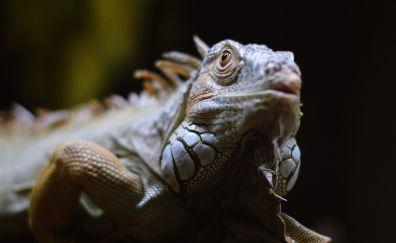 Iguana muzzle, reptile