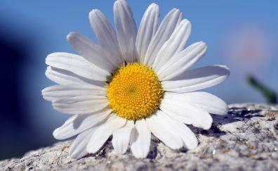 White daisy flower, petals, close up