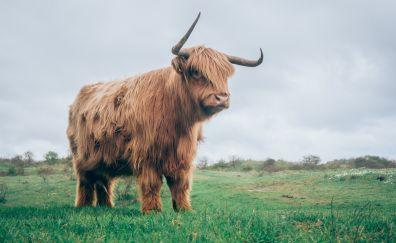 Bull, horns, fur, grass field