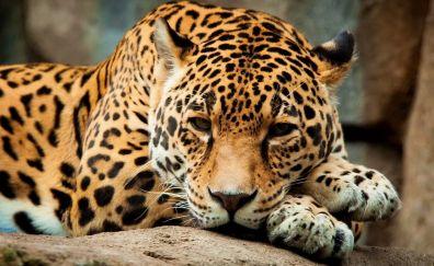Jaguar, animals
