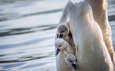 White birds, baby swan, birds