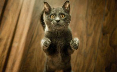 Curious, kitten, British Shorthair, black, cat, stare