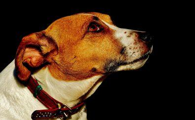 Jack russell, muzzle, dog, animal, amazed