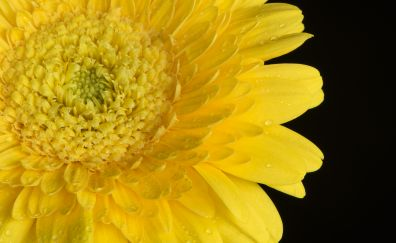Yellow gerbera, flowers, closeup, 5k