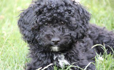 Poodle, black, dog, furry, pet