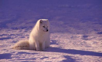 White fox, arctic fox, animal